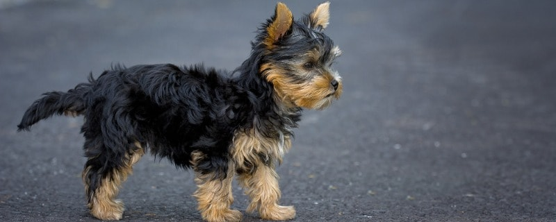 What to Feed Your Yorkie Pet