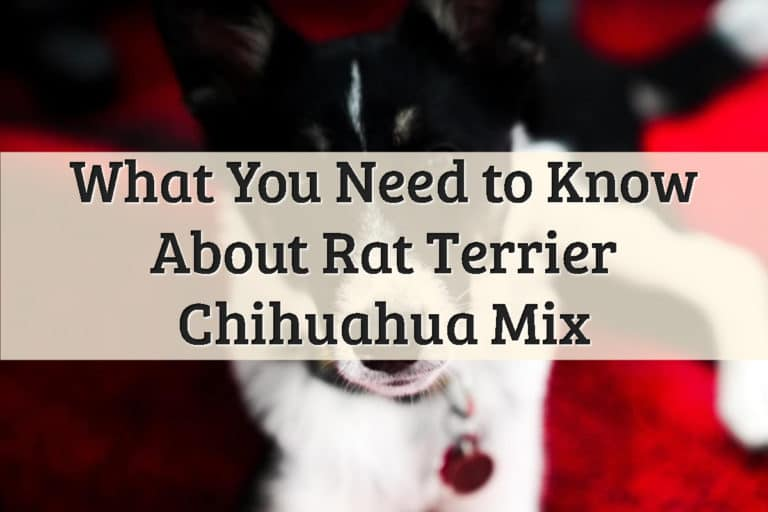 Rat Terrier Chihuahua Mix Feature Image