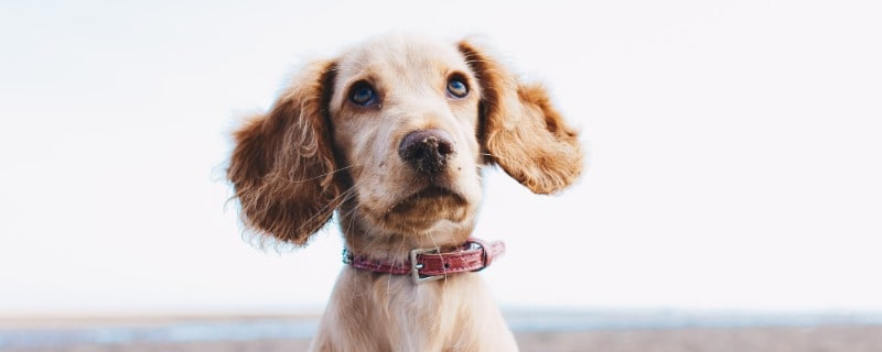 Dog Behavior Looking at Owners