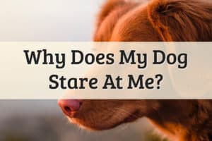 Why Does My Dog Stare at Me Feature Image