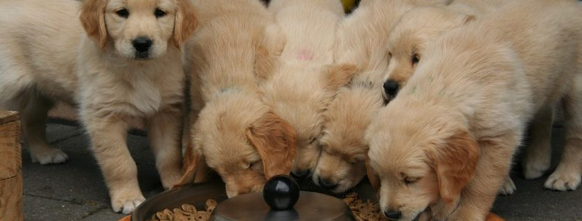 Small Breed Puppies Wanted To Eat Together In Their Preferred Location