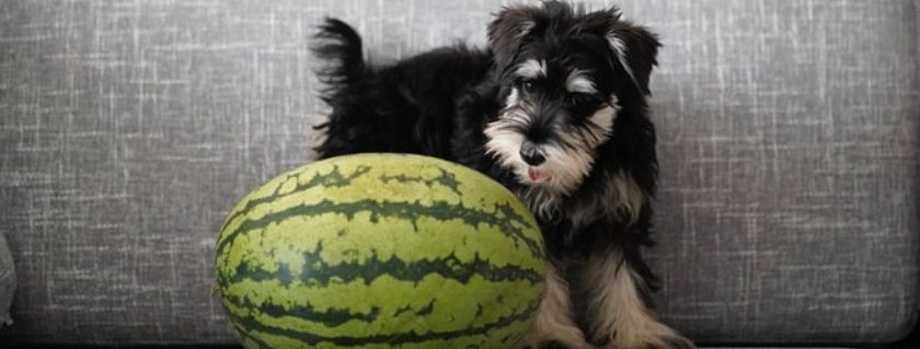 A Watermelon To Refreshen Your Dog